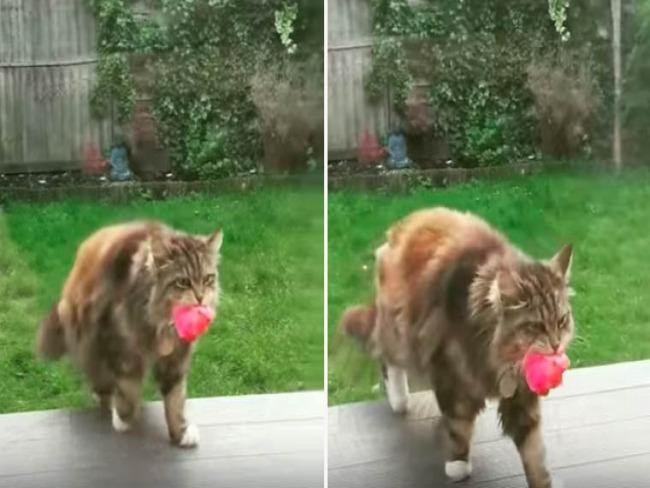 Gata dá flores rosa do jardim dos seus donos para os vizinhos
