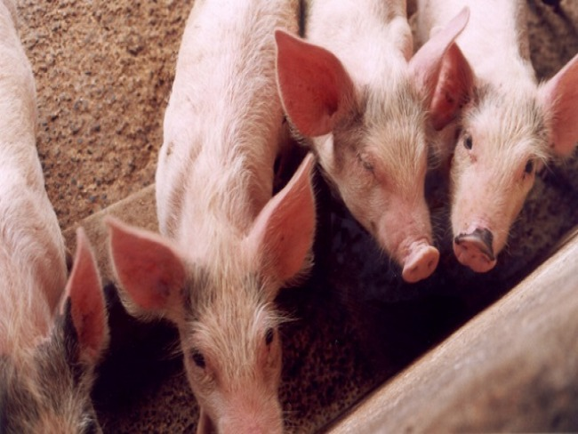 Ceará está proibido de fazer transporte de suínos e de seus produtos de origem para o Piauí